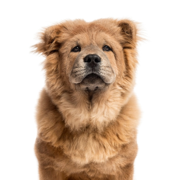 Close-up of a chow-chow in front of a white wall