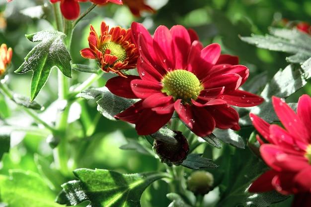 Крупным планом цветы хризантемы