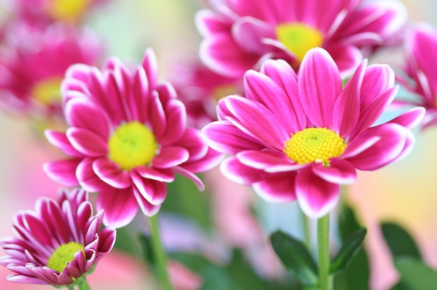 Close-up of  chrysanthemum