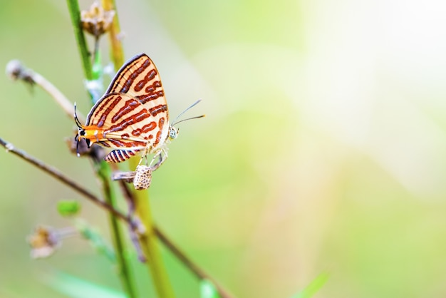 Close up cigaritis syama beautiful butterfly with white orange red pattern perching use leg to hook ovary or pupa, insect nest and propagation of animal in garden on green nature sunlight background