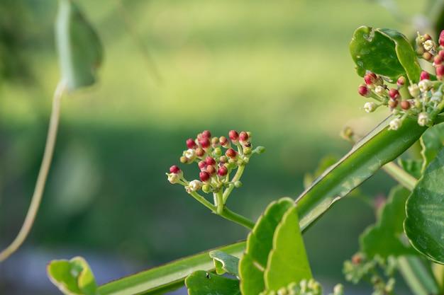 Close up cissus quadrangularis herb plant. commonly known as veldt grape,devil's backbone,adamant creeper,asthisamharaka or hadjod.
