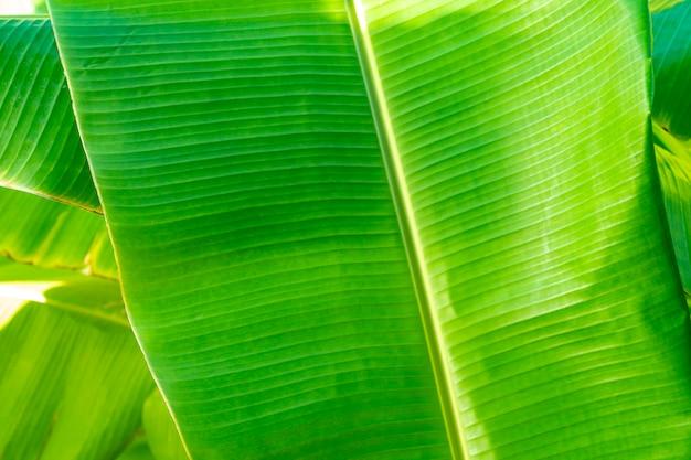 グラフィックの背景のために葉の縁にイヤマークと欠陥がある透明なバナナの葉のパターンをクローズアップします。