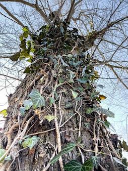 Primo piano di edera rampicante su un vecchio albero nel parco.