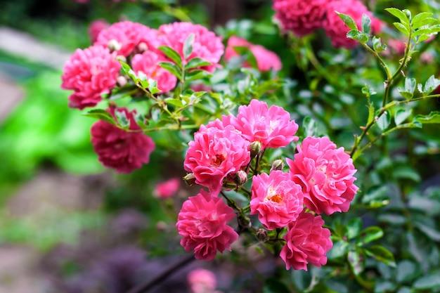 Close-up of climbing roses