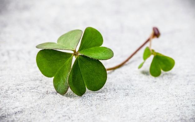 Закройте клеверы листья на камне.