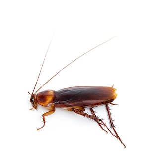 Close up on cockroach insect isolated