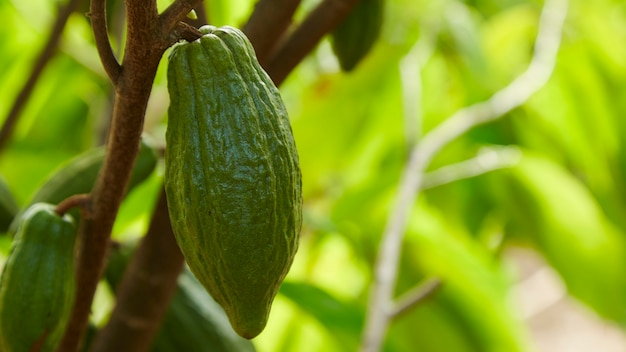 Close up of the cocoa tree with fruits green cocoa pods grow on the tree copy space for text
