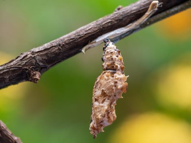 Крупный план cocoon chrysalis butterfly
