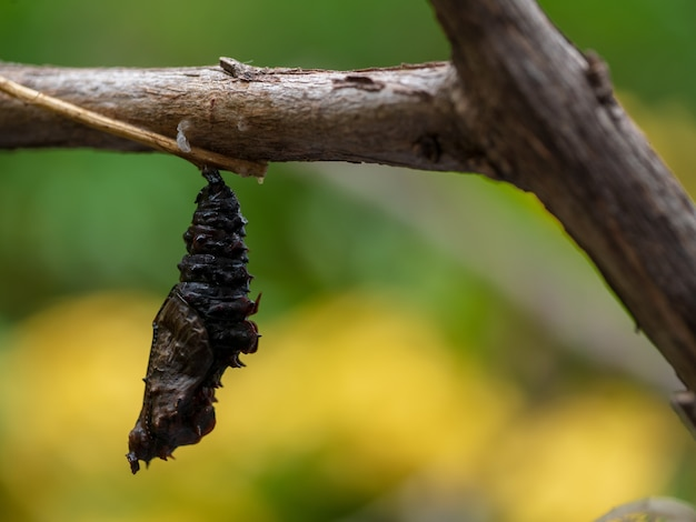 Close-up cocoon chrysalis butterfly