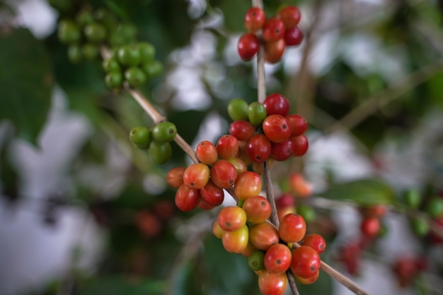 Close up coffee beans are ripe, harvested, branches of arabica coffee plants in changmai province, northern thailand.