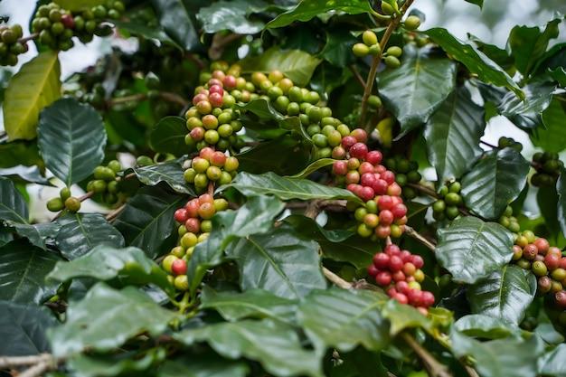 Close up кофейные зерна созрели, собраны, ветви кофейных растений arabica в провинции нан, северный таиланд.