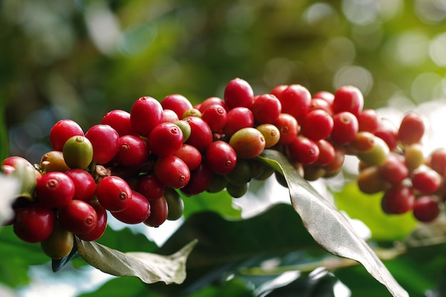 Close-up of coffee berries (cherries) grow in clusters along the branch of coffee tree growing under forest canopy (shade-grown coffee plantation) over blurred bokeh green leaves