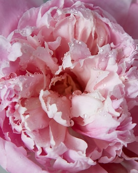 Close-up colorful background of beautiful gentle pink peony flower. top view.