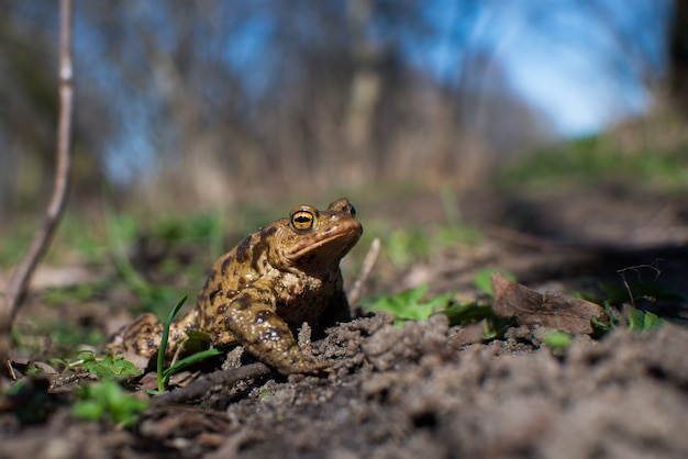 Close up on common frog in the forest, europe