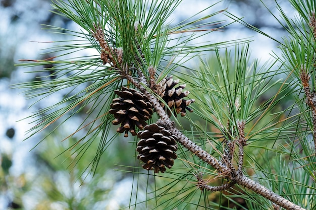 Close up cones on an evergreen tree branch in the forest