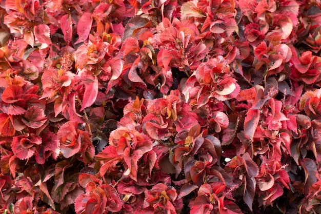 Close Up Of Copper Leaf Or Acalypha Wilkesiana For Nature Abstract