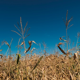 Close up of corn field in the hamptons