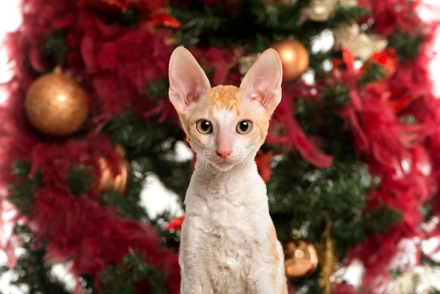 Close up of a cornish rex kitten in front of a christmas tree and looking at the camera