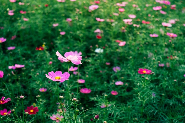 Close-up of cosmos flower and pink starship flower