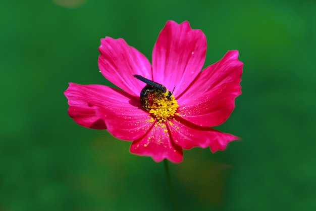 Close up of cosmos flower with pink petals and green blurred background