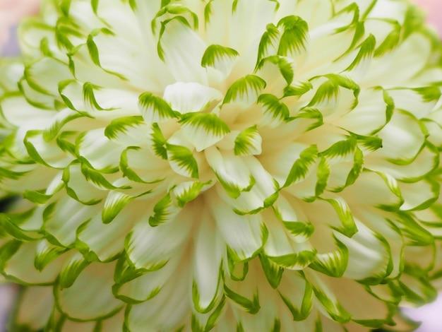 크림과 녹색 국화 꽃을 닫습니다. 봄 날 배경 식물 패턴