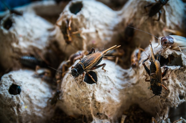Close up of crickets in farm, for consumption as food and used as animal feed.