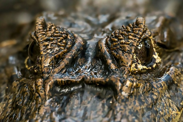 Close up of the crocodile eyes