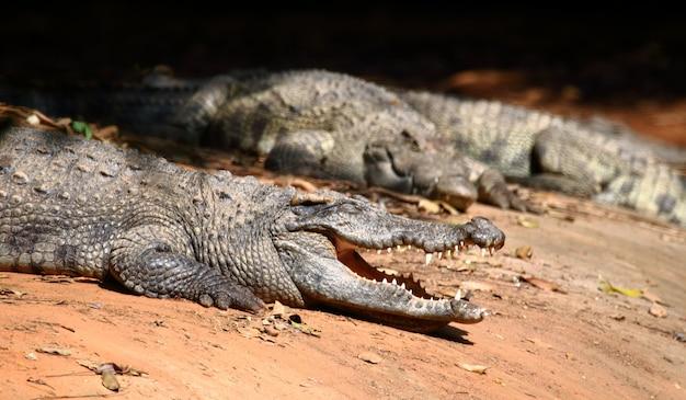 Close up crocodile.