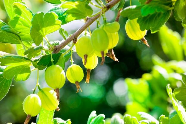 Close up on crop of gooseberries
