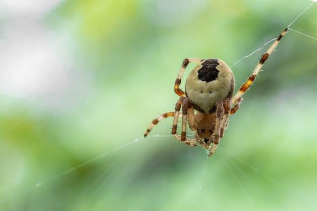 Close-up of a crusader spider weaving silk spider web, copy of the space, selective focus, natural background.