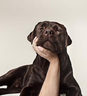 흰색 배경에 격리된 초콜릿 래브라도의 클로즈업 우는 개 얼굴. 동물 개념의 감정입니다. 남성 손으로 콜라주