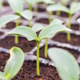 温室内の土壌にキュウリ苗を閉じる。