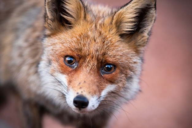 Close-up of curious red fox looking sadly and directly into the camera