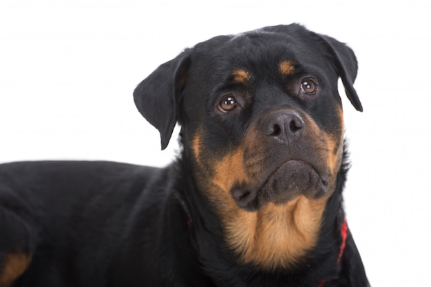 Close-up cute beautiful rottweiler