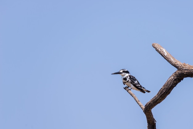 Close-up of a cute black and white kingfisher perched on a acacia tree branch. telephoto view from below against clear blue sky.