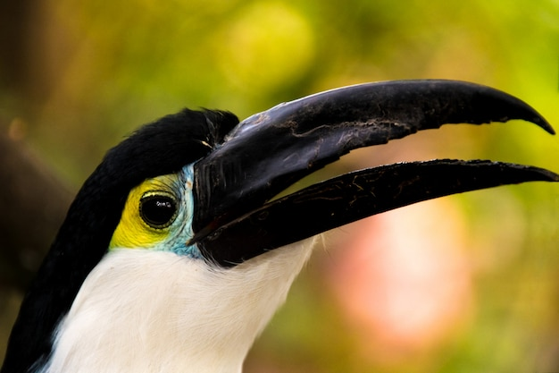Close up of a cute blue chest toucan