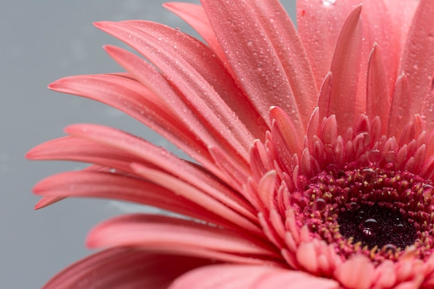 Close-up cute flower of gerbera