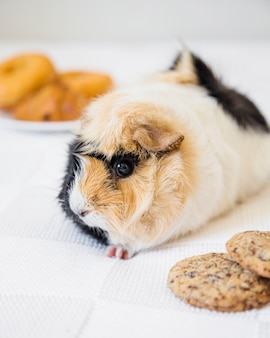 Close-up of cute guinea pig and cookies