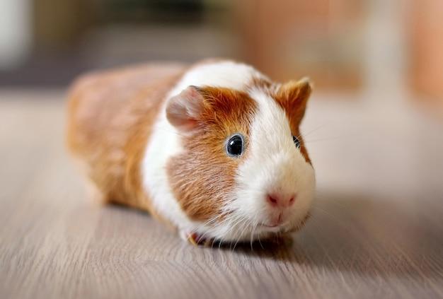 Close up on cute guinea pig pet