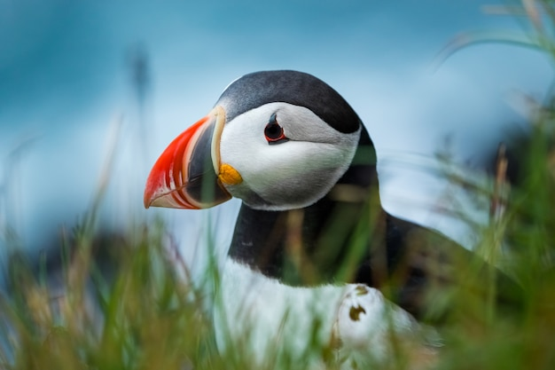 Close up cute of puffin at island in iceland