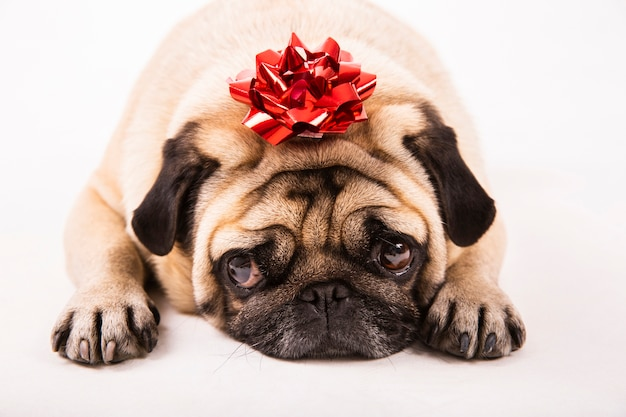 Close up cute pug laying with bow on head