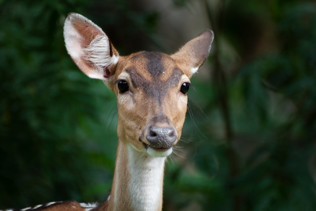 Close-up of cute spotted fallow deer.