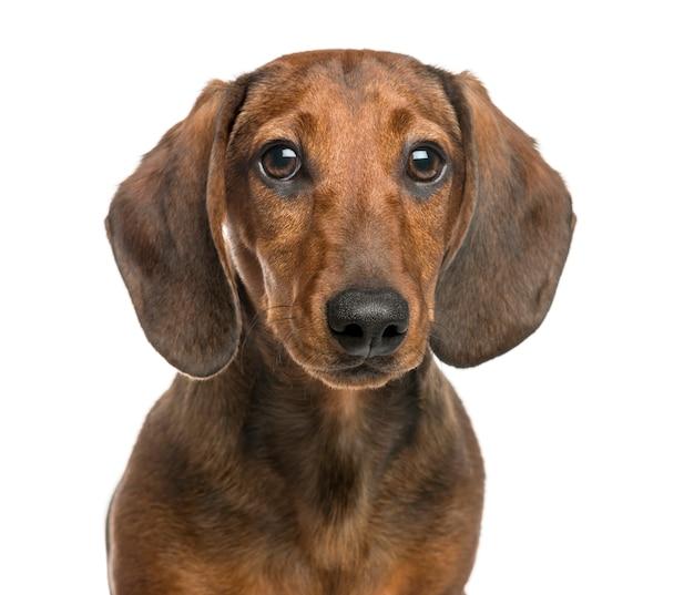 Close-up of dachshund, looking at camera