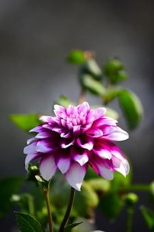 庭のダリアの花を閉じる