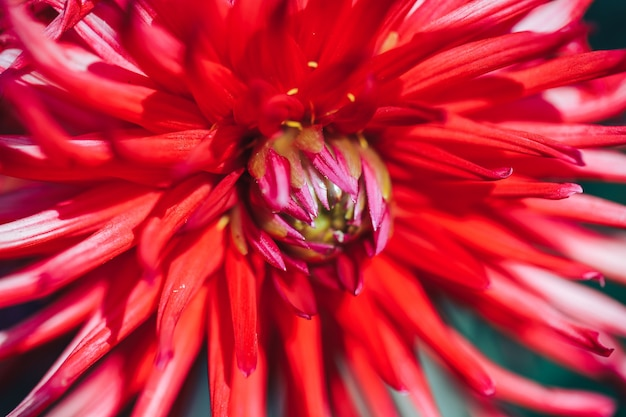 Close-up of dahlia red flower macro  selected focus