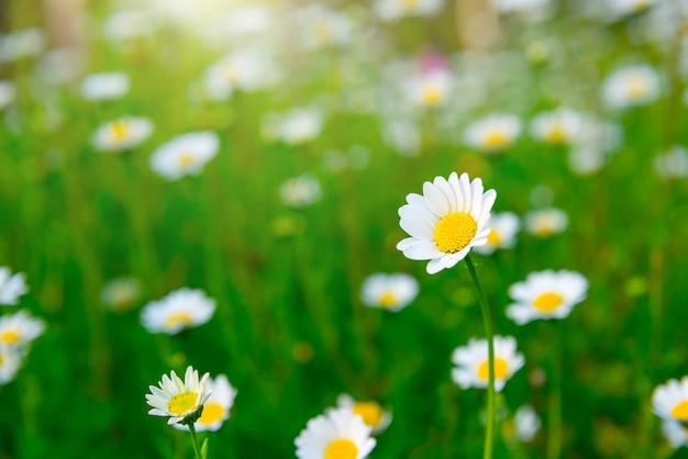 緑の牧草地にデイジーの花をクローズアップ。美しいフローラ。