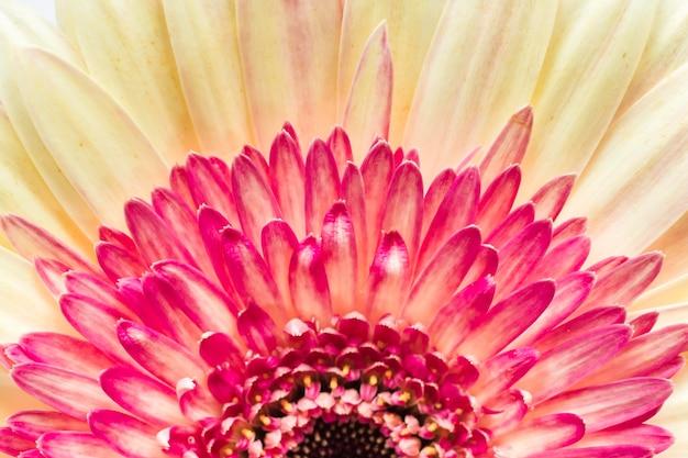 Primo piano del fiore della margherita