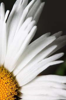 Close-up daisy petals