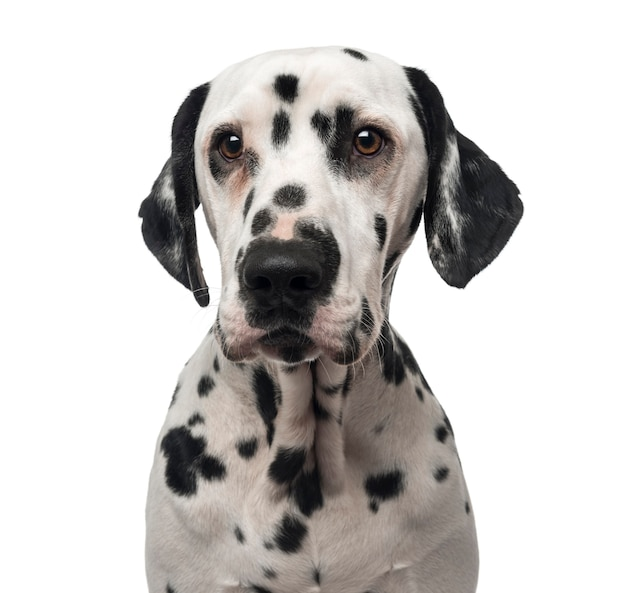 Close-up of a dalmatian isolated on white