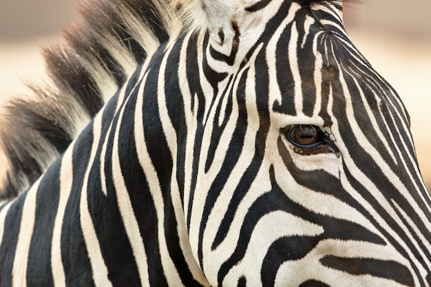 Close up on damara zebra portrait in nature